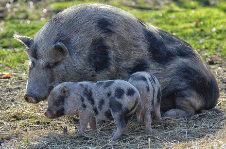 تفسير حلم رؤية الخنزير أو الخنازير في المنام