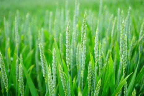تفسير حلم رؤية القمح في المنام لابن سيرين