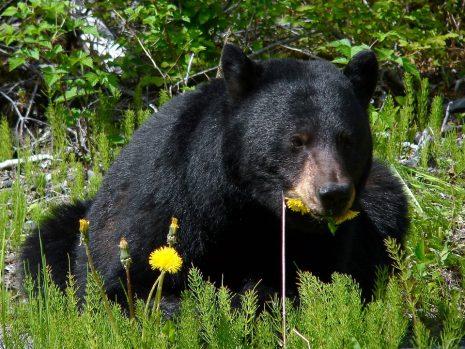 تفسير حلم رؤية الدب الأسود الأبيض في المنام