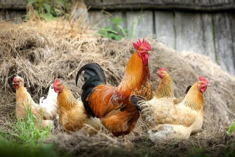 تفسير حلم رؤية الدجاج في المنام لابن سيرين
