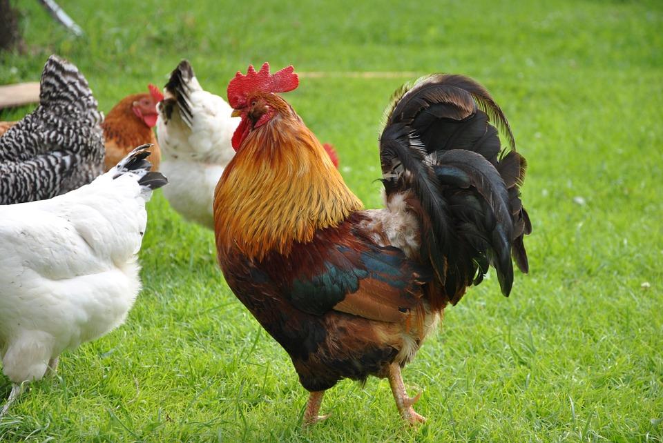 تفسير رؤية الديك في المنام الدجاجة في الحلم