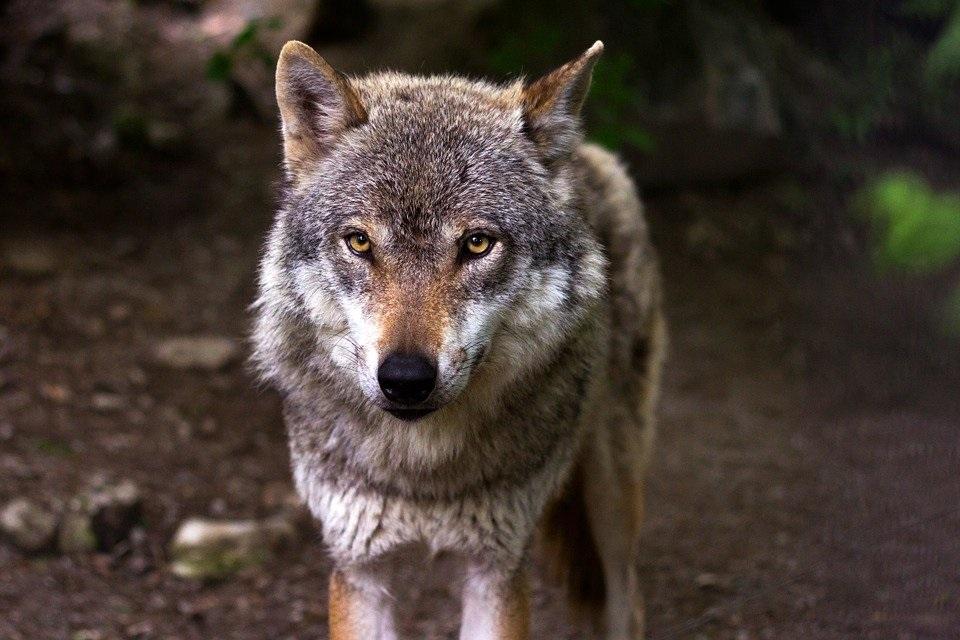 تفسير رؤية الذئب في المنام وتأويل حلم الذئب الحي والميت