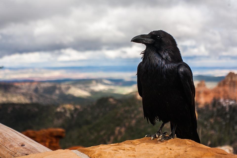 تفسير حلم رؤية الغراب الأسود في المنام لابن سيرين Black Crow