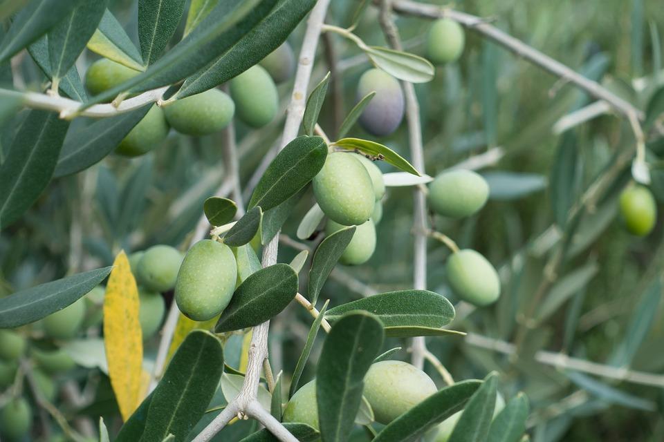 تفسير حلم رؤية شجرة الزيتون في المنام