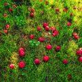 تفسير حلم رؤية التفاح الأحمر في المنام لابن سيرين