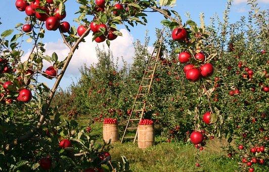 تفسير حلم رؤية شجرة التفاح في المنام لابن سيرين